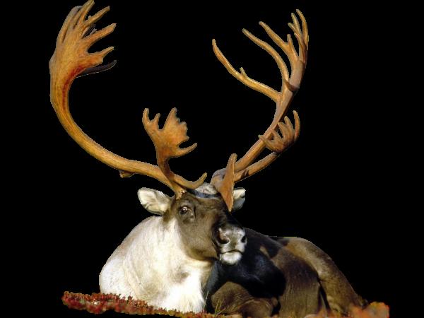 Deer582