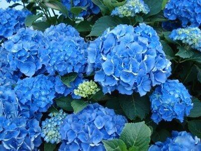 pied d 39 hortensia bleu photo de le jardin des anges d cosanges. Black Bedroom Furniture Sets. Home Design Ideas