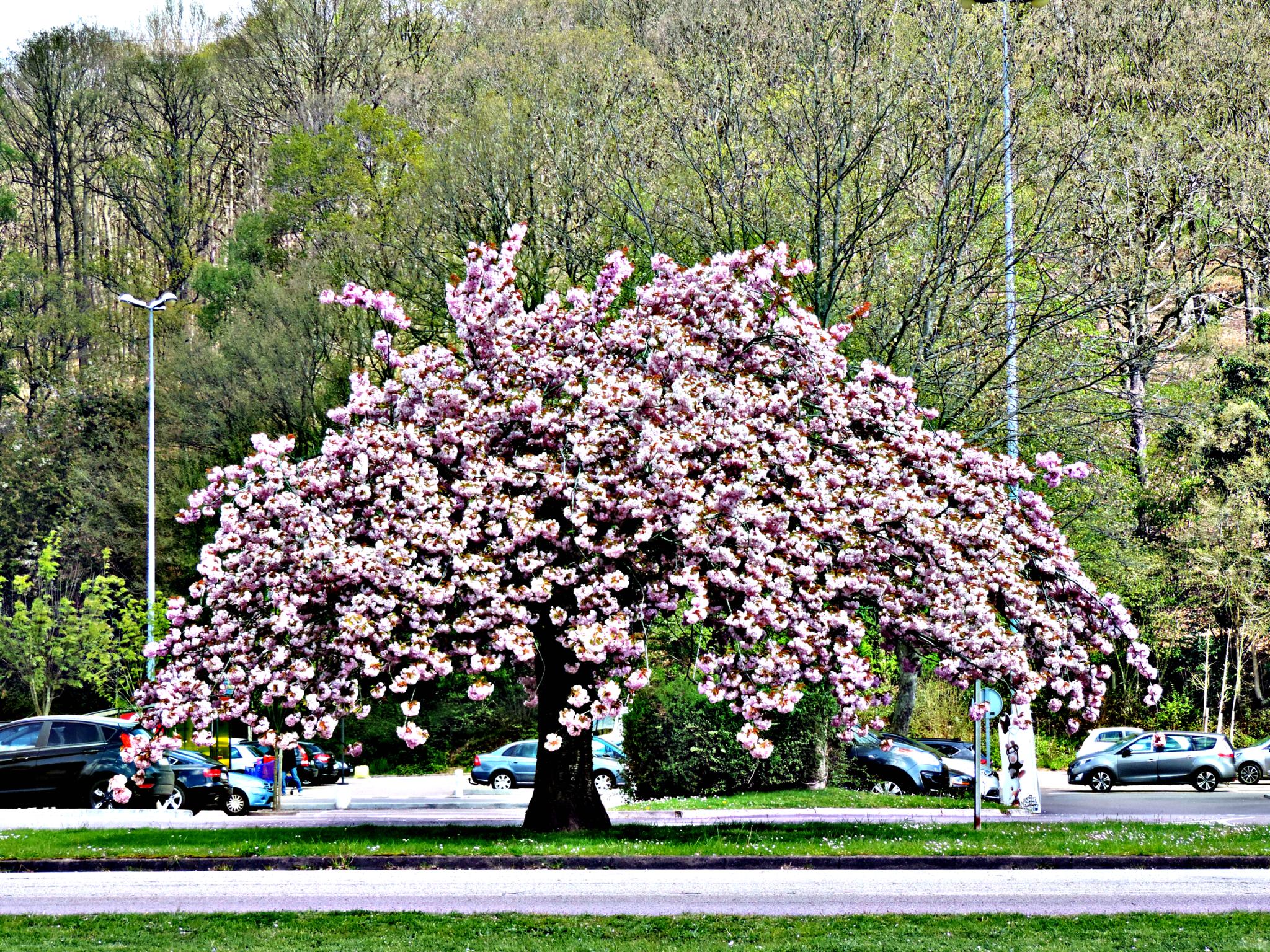 Cerisier sauvage !