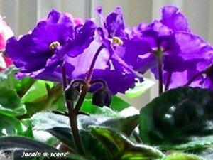 Saintpaulia ou Violette africaine
