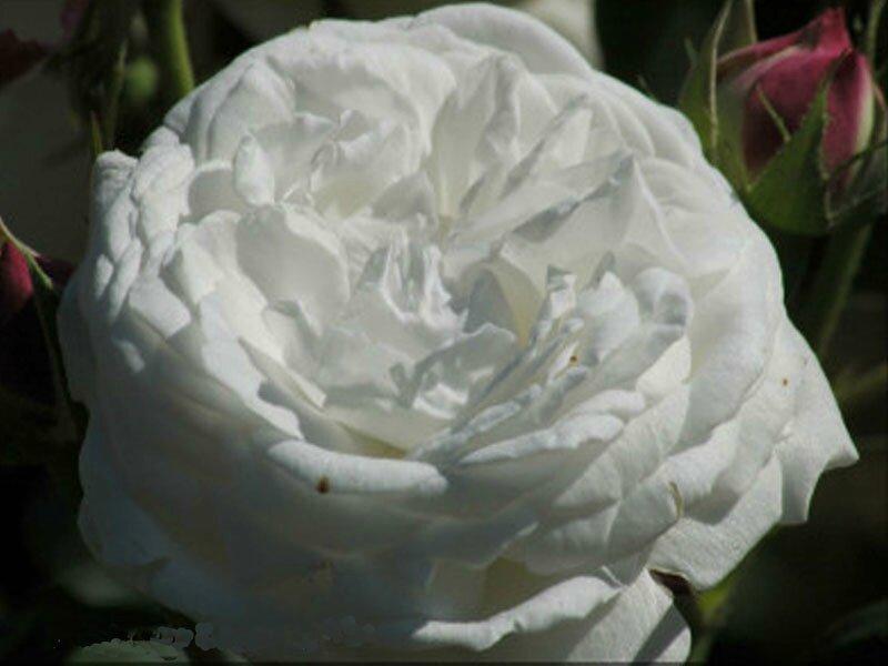 roses_lyonnaises-Boule_de_Neige