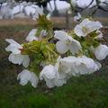Les cerisiers sont en fleurs !