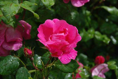 Rose_Rodin_4