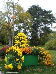 Chrysanthemes_22_Parc