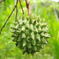 Fruit de la ferme de Peña Negra