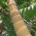 palmier epines