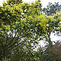 Mimosas de l ile de re