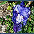 Iris bleu 0304152