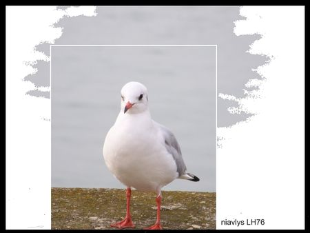 mouette_rieuse_2_jpg