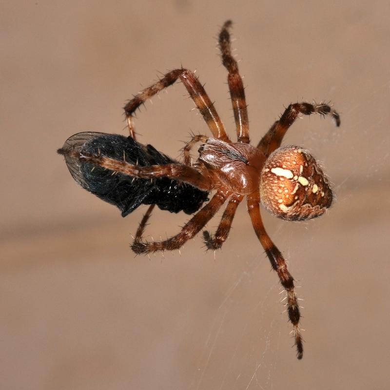 Araneus diadematus - PIT Guérigny - 22 septembre 2010 - 2