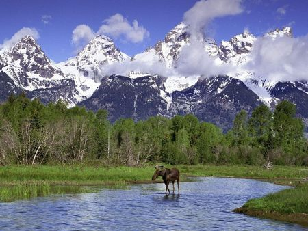 Moose_Wading_in_a_River_Grand_Teton_National_Park_Wyoming_1280x960