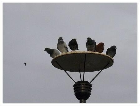 pigeons_ramier_lampadaire