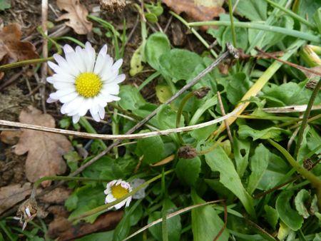 17novembre-fleurs de mon jardin (32)