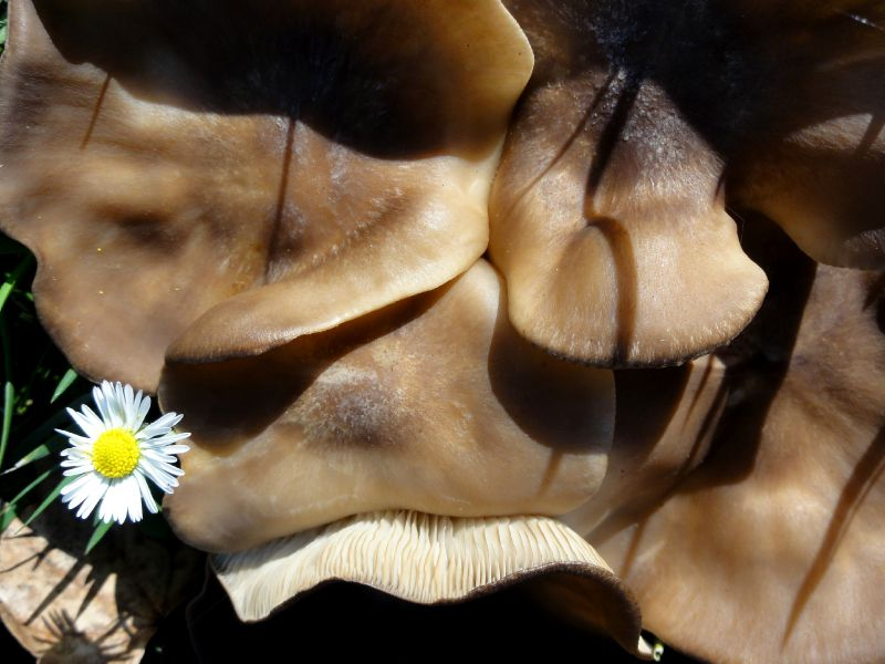 champignon-05884 (3)