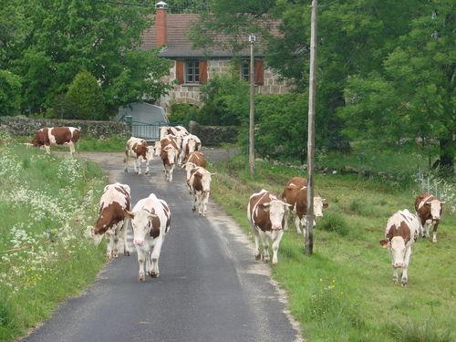 2008 06 07 Les vaches qui vont au pré