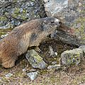 Le marquage jugal chez la marmotte alpine...
