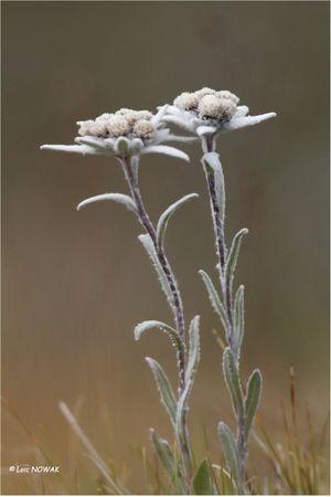 Edelweiss Web