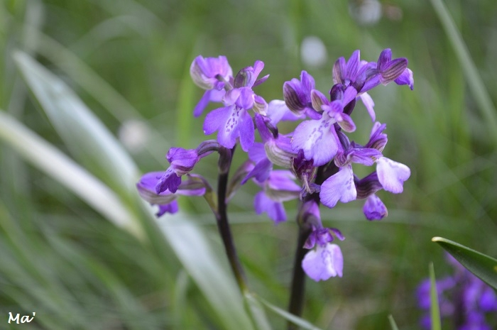 170421_chateaudouble_6_orchis_bouffon