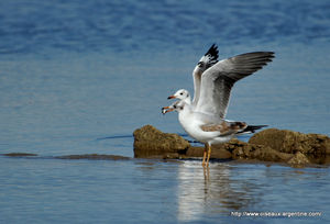 mouette_t_te_grise__7_