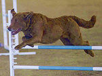 Chesapeake_Bay_Retriever