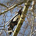 Pie bavarde (Pica pica) - Eurasian Magpie