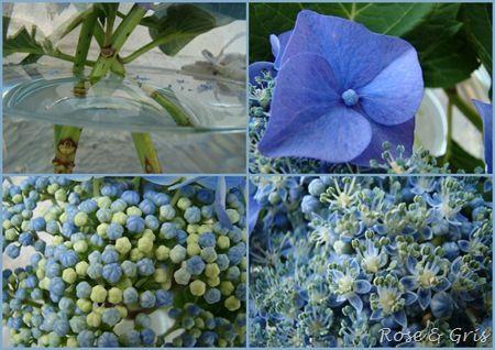 hortensias bleus détails