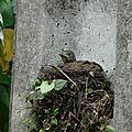 Turdus leucomelas - Merles leucomèles juvéniles