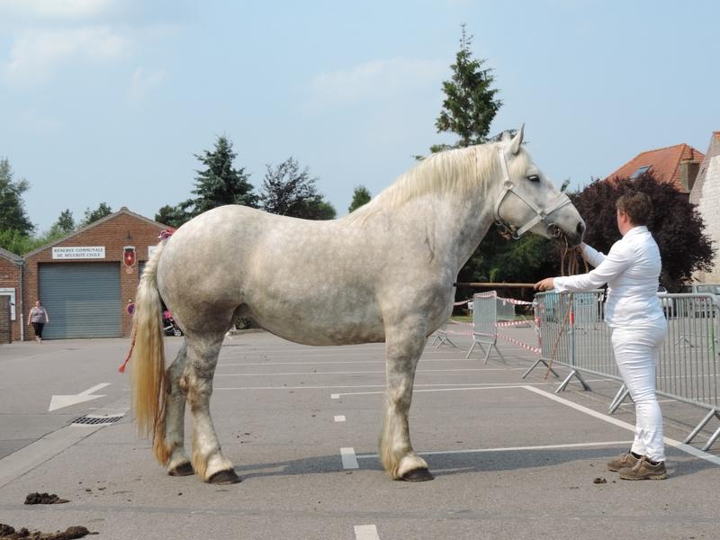 Elyte - 20 Juin 207 - Concours élevage local - Thérouanne (62) - 3e (3 ans)