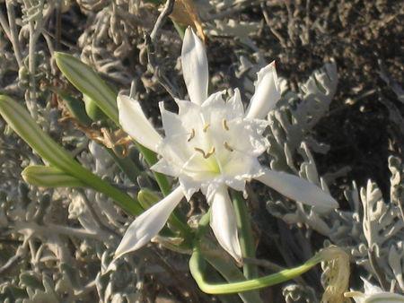 fleur_du_frioul