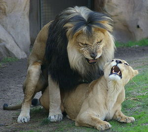 669px_Lions_mating_Denver_Zoo