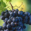 L'extrait de pépins de raisin surpasse la chimio pour tuer les cellules cancéreuses avancées