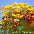 Choux en fleurs jaunes