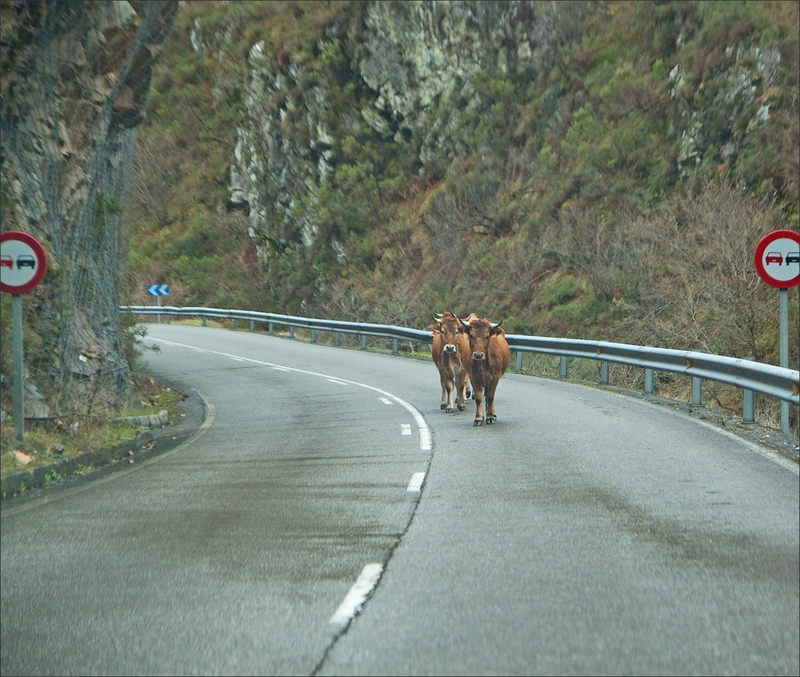Asturies GA 250113 60 vaches route