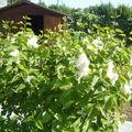 lilas blanc au jardin