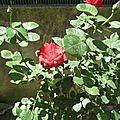 rosesrouges