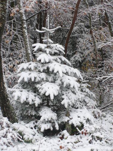 2008 10 29 Un mini sapin sous la neige