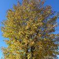 2009 10 27 Un arbre au couleur d'automne