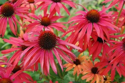Echinacea 'Hot Summer'400