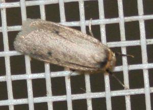 Lithosiinae sp