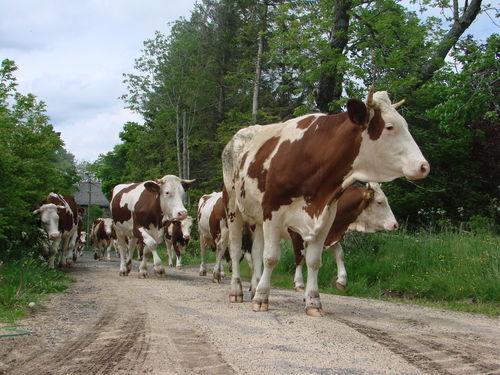 2008 05 28 Les vaches sur la route