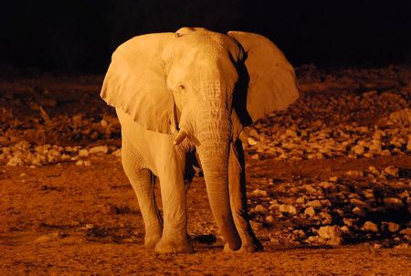 Eléphant de savane mâle, parc d'Etosha, Namibie (1)