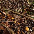 fruits du poncirus trifoliata