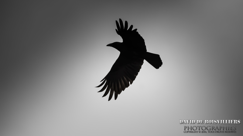 Corneille noireCorvus corone - Carrion Crow