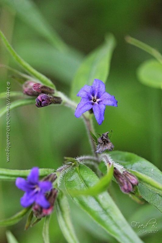Buglossoides purpurocaerulea - Lithospermum purpurocaeruleum syn