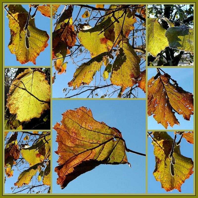 feuilles de noisetier