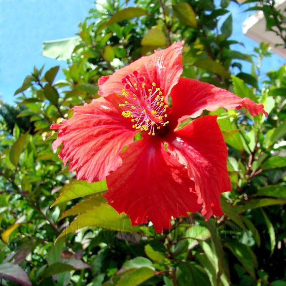 Image-Nature-Fleur-Hibiscus-Martinique 3