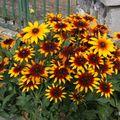 2009 08 03 Rudbeckias en fleurs