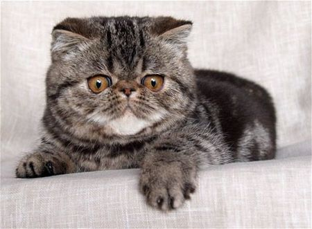 gd_exotic_shorthair_1