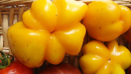 tomates_yellow_stuffer_jardin