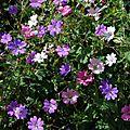 geranium pyrenaicum 'album, geranium pyrenaicum 'summer sky', geranium x oxonianum 'winscombe'